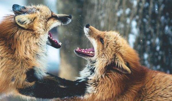 ATENȚIE! A început campania de vaccinare antirabică a vulpilor!